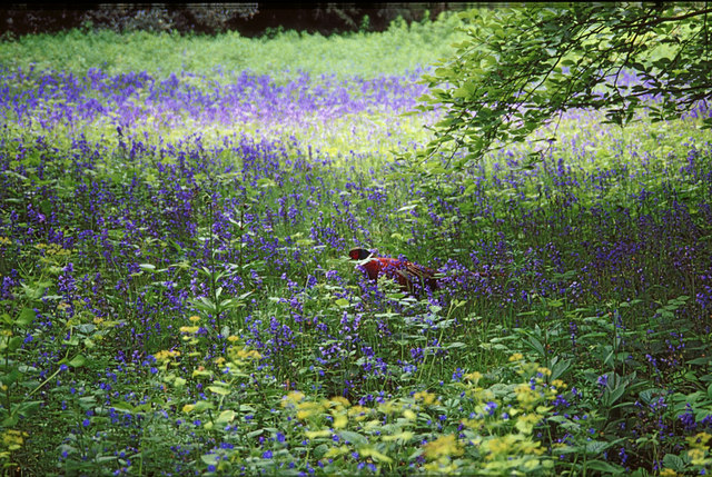 Pheasant in Bluebells at Kew Gardens