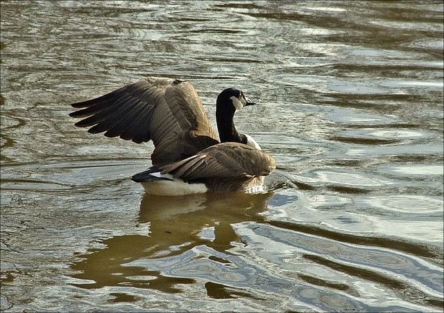 Canada Goose (Branta canadensis) on Boxer's Lake, Enfield