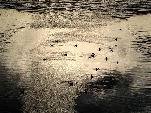 Gulls near Victoria Dock