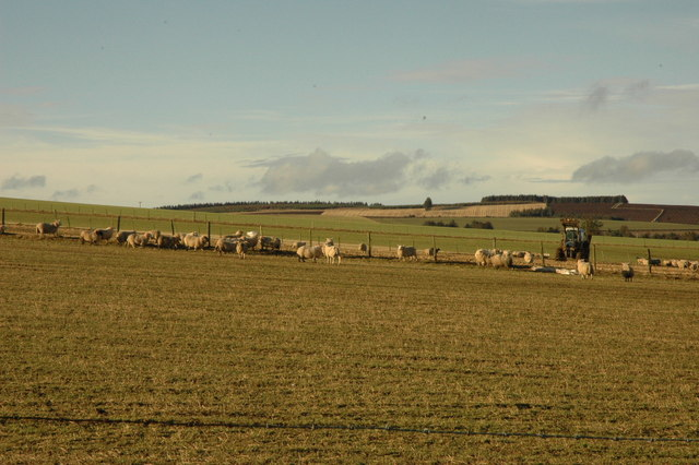 Sheep and farmer distributing feed