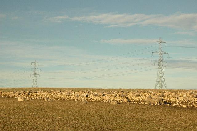Sheep eating turnips