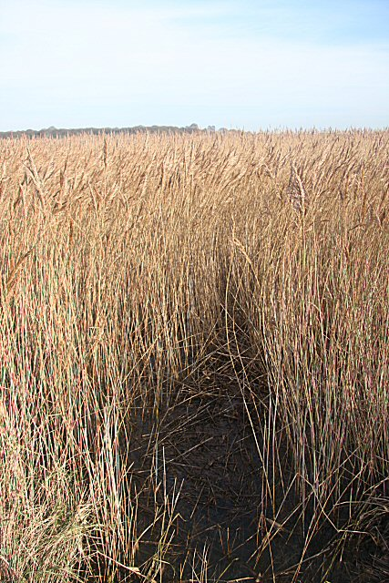 Reed beds at Snape Maltings