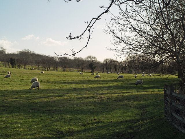 Sheep Grazing near  Horkstow Hall