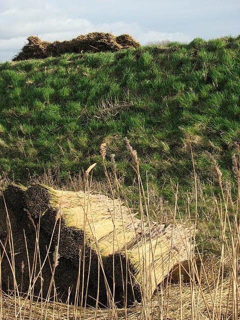 Crop of reeds