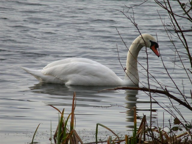 Swan, Milton Country Park