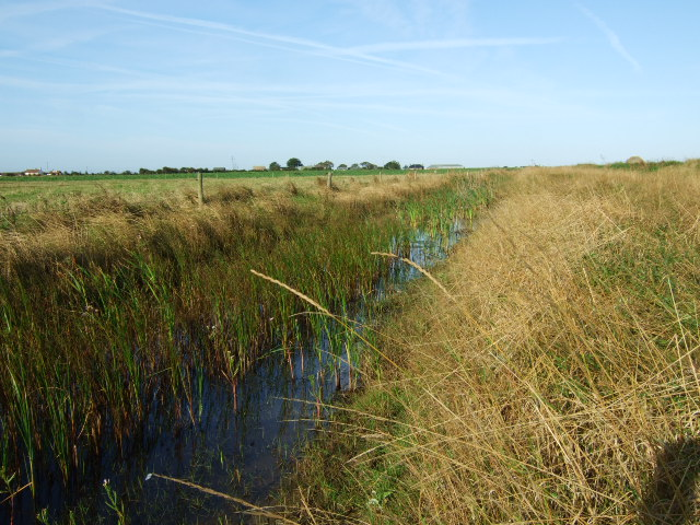 Reeds and ditch