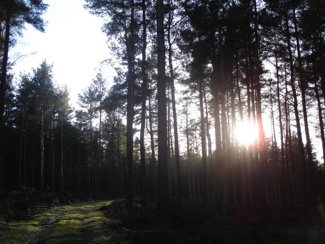 Winter Sun through the trees of Lazonby Fell Plantation