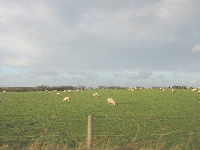 Sheep at Porth Dinllaen Farm