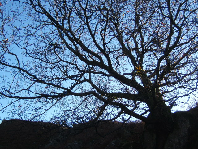 Upward view of tree silhouette