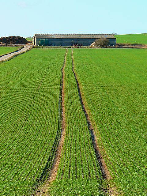 Nascent oilseed rape crop, south of Kingston Lisle