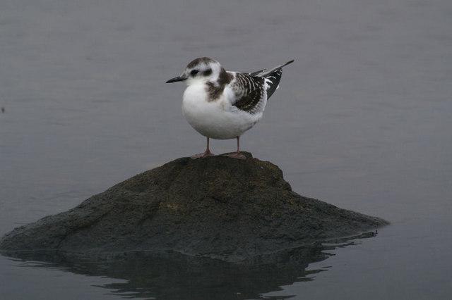 Little Gull (Hydrocoleus minutus) at Uyeasound