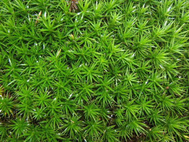 Luxuriant cushion of moss