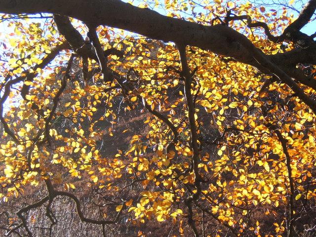 Sunlight filtered through beech leaf curtain