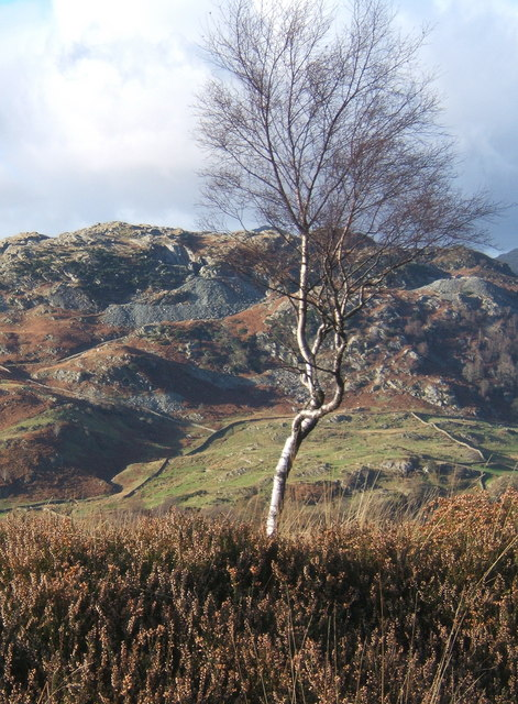 Tree in heather on ridge north of Holme Fell