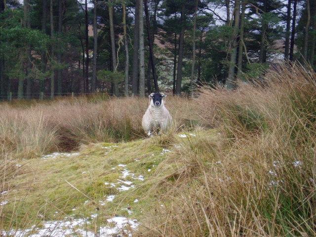 Blackie Ewe