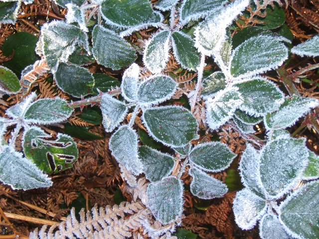 Frosted brambles over bracken, close to River Esk