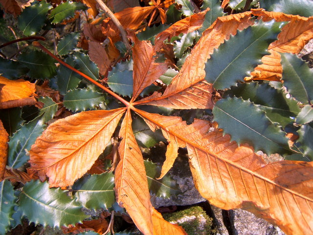 Fallen chestnut leaf