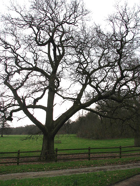 Large tree in cattle pasture