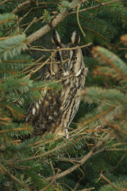 Long-eared Owl (Asio otus), Baltasound