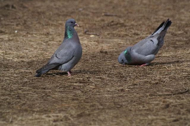 Stock Doves (Columba oenas), Formby