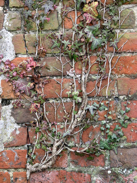 Tendrils of ivy