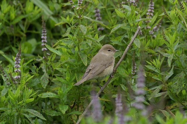 Garden Warbler (Sylvia borin), Skaw