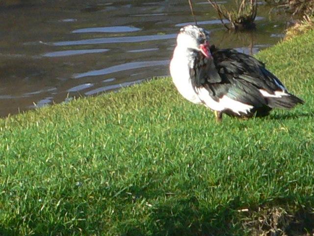 Muscovy duck, Parc Menai