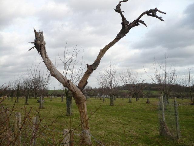 An  orchard on Goodnestone Hill