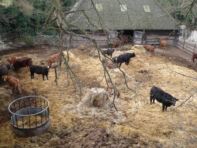 Crockshard Farm cattle in Goodnestone Road