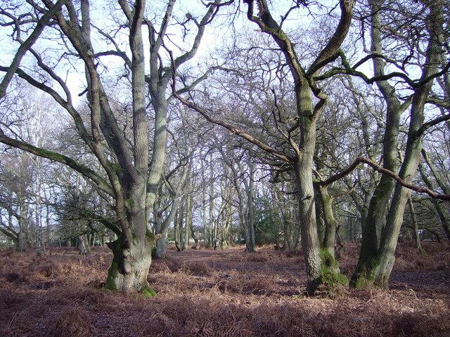 Oak trees in Lower Everley Copse