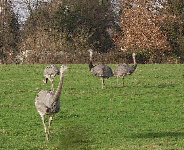Rheas grazing at Hollybush Farm