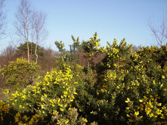 Gorse on Yateley Common