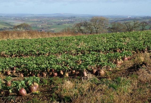 Beetfield near Atherington