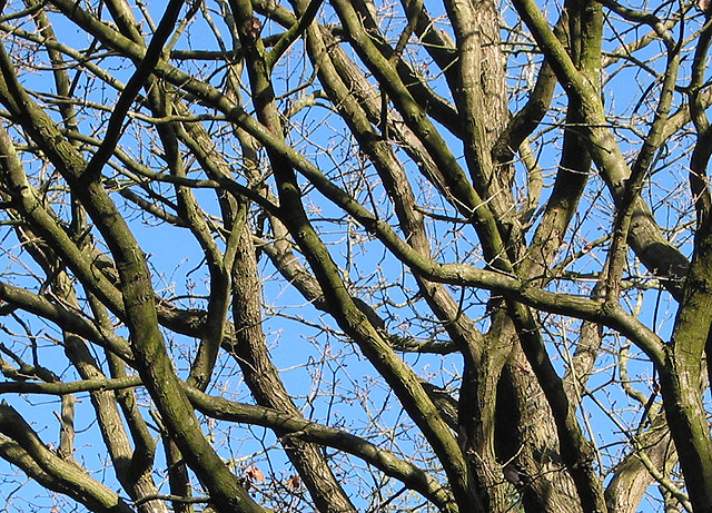Tangle of branches, Queen's Wood