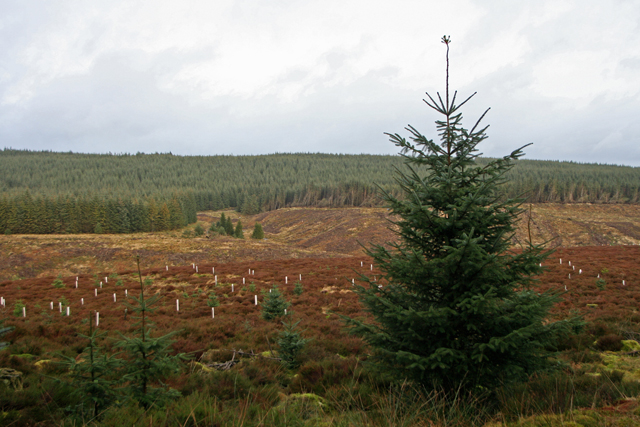 Recent replanting in Kielder