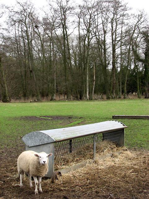 Sheep waiting at hay rack