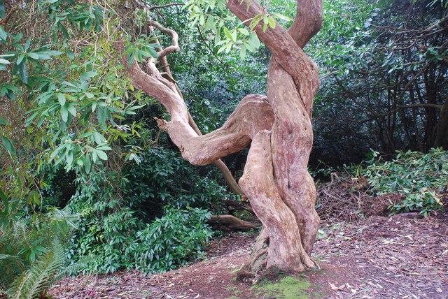 Rhododendron Plas Glyn y Weddw