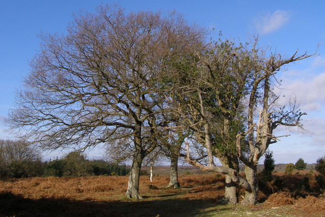 Trees on Fritham Plain, New Forest