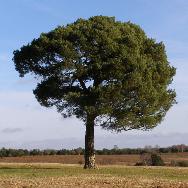 Scots pine on Fritham Plain, New Forest