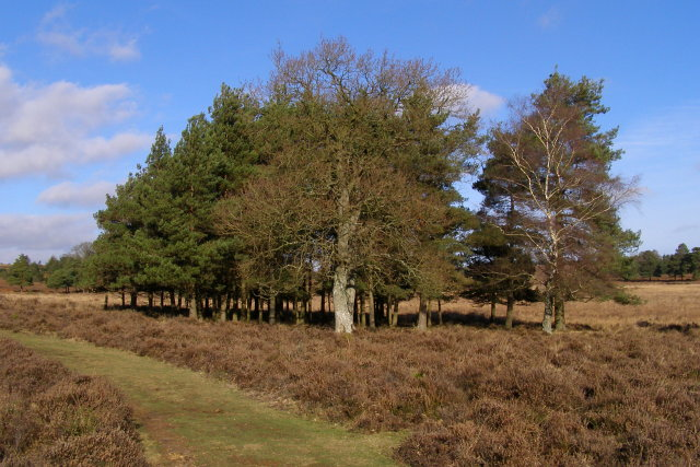 Clump in Rakes Brakes Bottom, New Forest