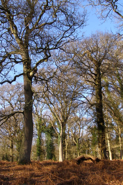 Trees in Broomy Inclosure, New Forest