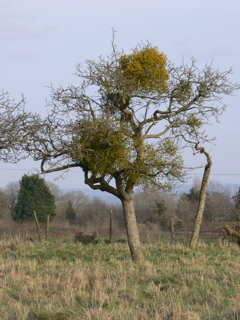 Mistletoe in apple tree