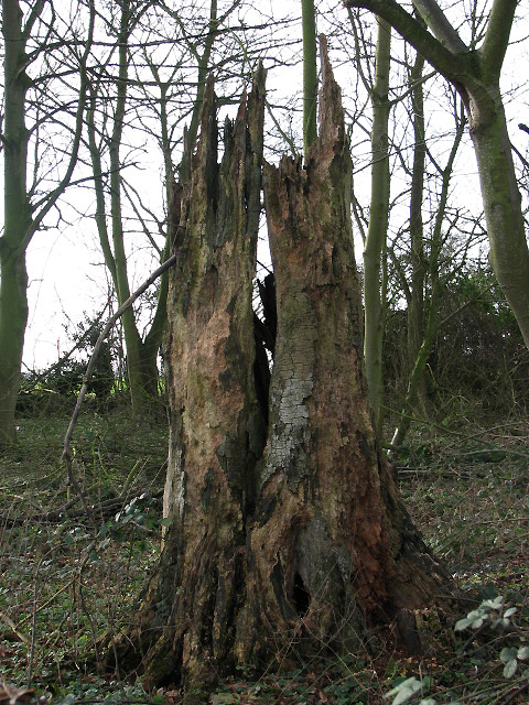 Decaying tree trunk