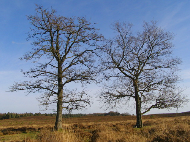 Oak trees, Watergreen Bottom, New Forest
