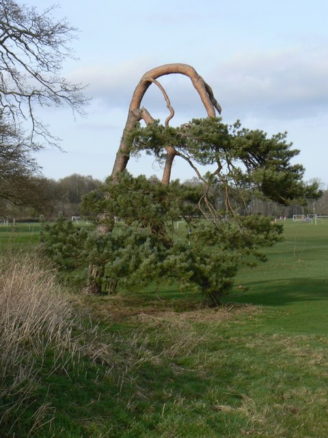 Bizarre pine tree at Kingweston