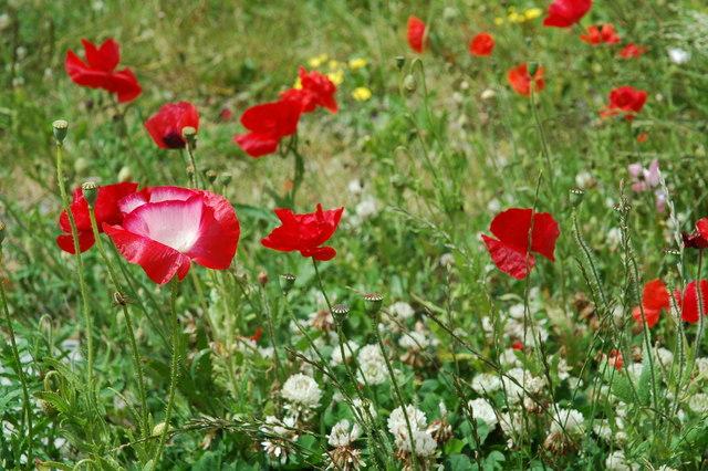 Poppies at Tyn Llan