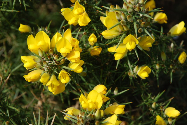Eithin - Ulex europaeus - Gorse
