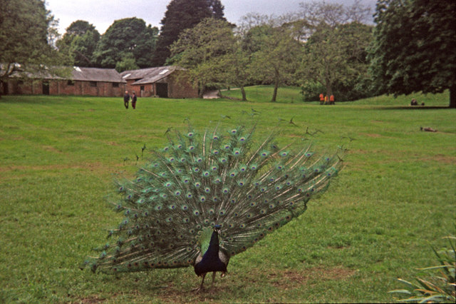 Peacock on Brownsea Island