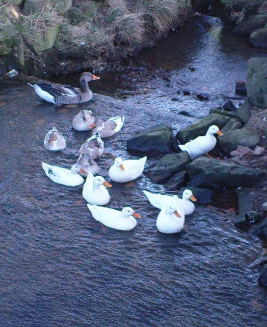 Ducks at Dallow