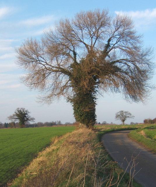 Tree by lane to Hemingstone